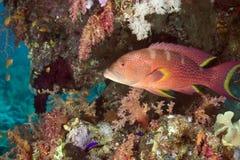 珊瑚石斑鱼lyretail 免版税库存照片