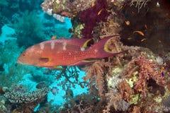 珊瑚石斑鱼lyretail 免版税图库摄影