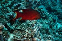珊瑚石斑鱼pessuliferus plecropomus红海 图库摄影