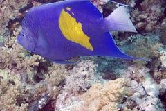 珊瑚石斑鱼pessuliferus plecropomus红海 库存照片