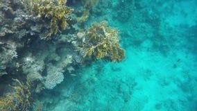 以珊瑚礁为背景的鱼游泳 股票录像