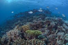 珊瑚礁在北红海 库存照片