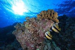 珊瑚礁在红海 免版税图库摄影