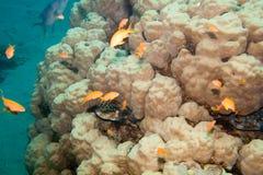 珊瑚礁是水下的在红海 库存照片