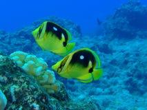 珊瑚礁热带鱼 库存图片
