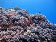 珊瑚礁热带鱼 库存照片
