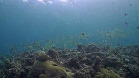 珊瑚礁用攫夺者 股票视频