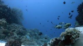 珊瑚礁的丑角Sweetlips在菲律宾4k 股票视频