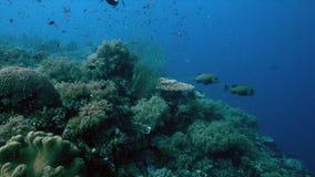 珊瑚礁的丑角Sweetlips在菲律宾4k 影视素材