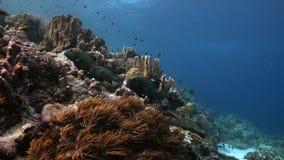 珊瑚礁的丑角Sweetlips在菲律宾4k 股票录像