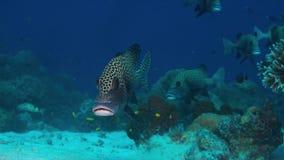 珊瑚礁的丑角Sweetlips 免版税库存照片