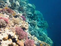 珊瑚礁的水下的射击在红海 免版税库存图片
