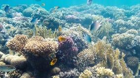 珊瑚礁的水下的射击在红海 免版税库存照片