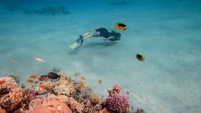 珊瑚礁的自由的潜水者,红海 图库摄影
