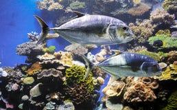 珊瑚礁的金枪鱼 库存图片