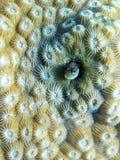 珊瑚礁粘鱼鱼掩藏 免版税库存图片