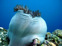 珊瑚礁银莲花属 图库摄影