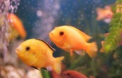 珊瑚礁,两条鱼在水中,红色,金黄鱼 免版税图库摄影