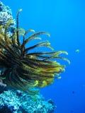 珊瑚礁crinoid 免版税图库摄影