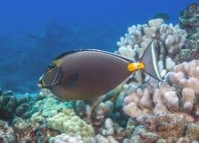 珊瑚礁unicornfish 库存图片
