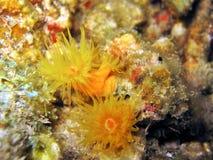 珊瑚福克纳s 库存照片