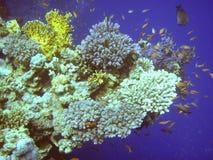 珊瑚红海 免版税库存图片