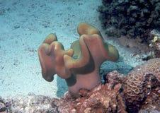 珊瑚红海 库存照片