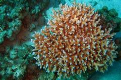 珊瑚红色礁石海运 背景 库存图片