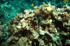 珊瑚红色礁石海运 背景 免版税库存图片