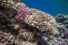 珊瑚红色礁石海运 图库摄影