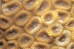 珊瑚纹理 免版税库存照片