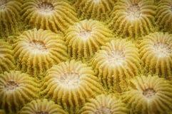 珊瑚纹理 免版税库存图片