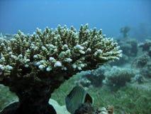 珊瑚结构树 免版税库存照片