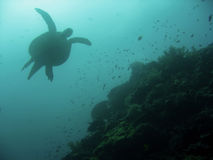珊瑚绿色礁石海运sipadan乌龟 图库摄影