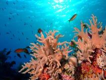 珊瑚羽毛手指 免版税库存照片