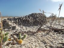 珊瑚膨胀逃脱是被埋没的活在沙子 库存照片