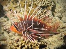 珊瑚蓑鱼红色礁石 免版税库存图片