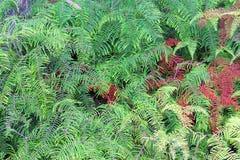 珊瑚蕨 免版税库存照片