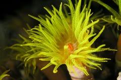 珊瑚虫黄色 免版税库存照片