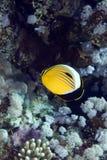 珊瑚虫butterflyfish在红海。 免版税库存图片