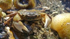 珊瑚螃蟹关闭 免版税库存照片