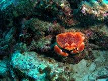 珊瑚螃蟹 免版税库存照片