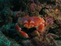 珊瑚螃蟹 库存图片