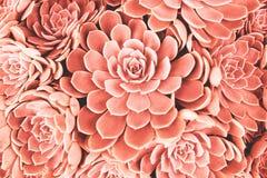 珊瑚被定调子的多汁植物 库存照片