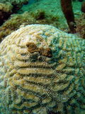 珊瑚迷宫 免版税库存照片