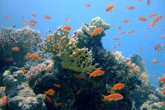 珊瑚钓鱼红海 免版税库存照片