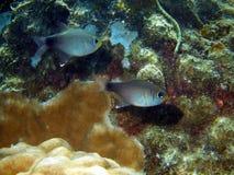 珊瑚钓鱼越南 免版税图库摄影