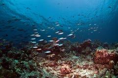 珊瑚钓鱼马尔代夫礁石 图库摄影