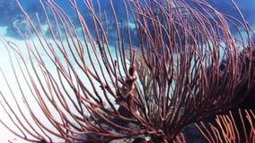 珊瑚长的分支在振动的流程的 股票录像