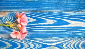 珊瑚颜色谎言大竺葵的花在白色背景的 免版税图库摄影